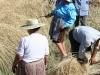 Segada do centeio em Traves, Meridãos, Tendais, Cinfães